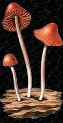 Conocybe siliqineoides